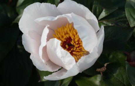 garden_peace_staudenpfingstrose